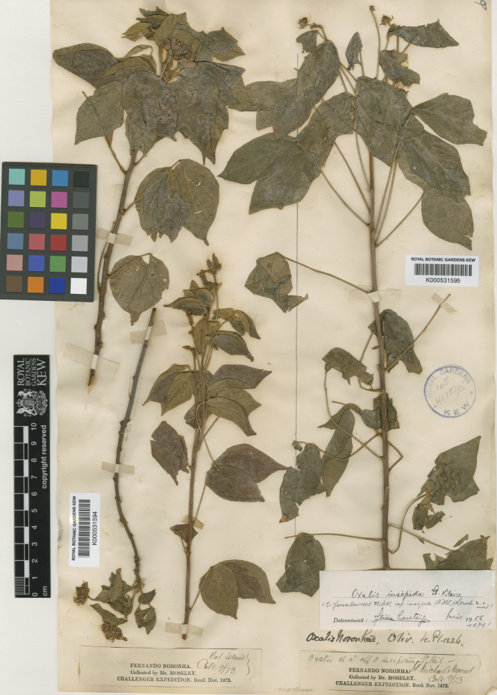 Vascular plant (Oxalis psoraleoides subsp. insipida (Wood sorrel))