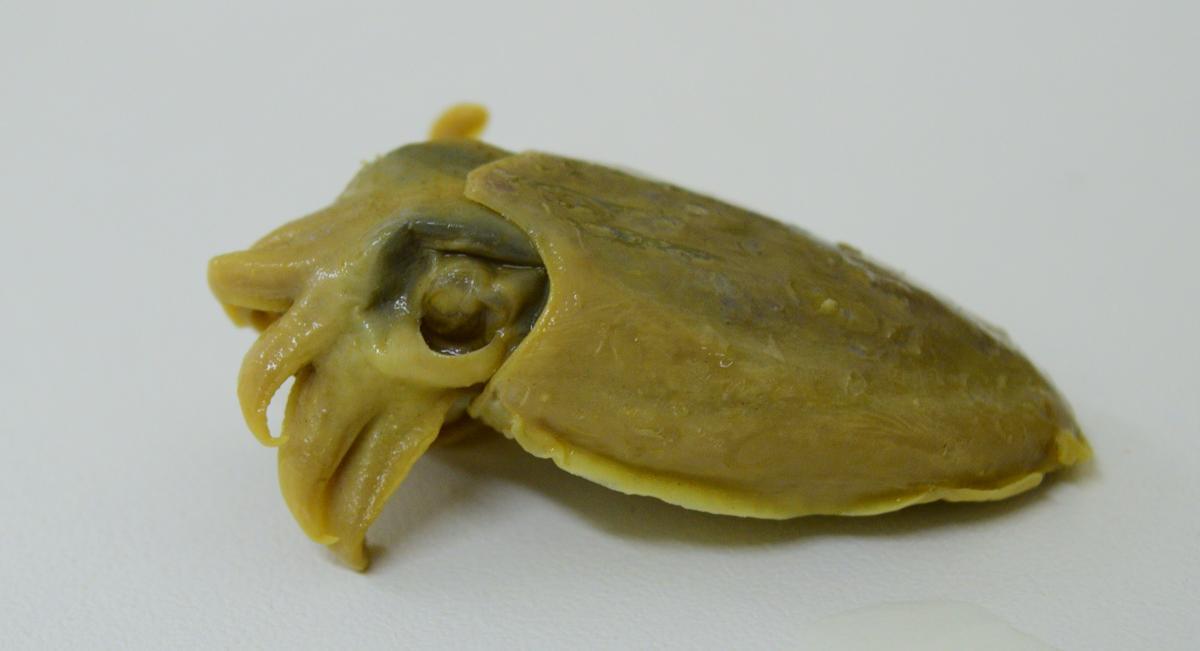 Cuttlefish (Sepia smithi)