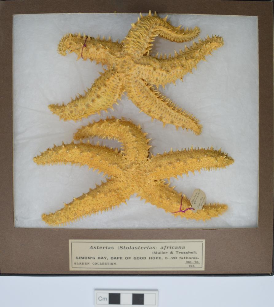 Starfish (Marthasterias glacialis  f. Rarispina (Spiny starfish))