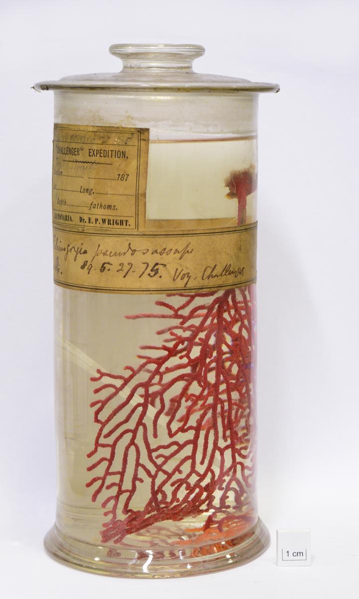 Coral (Echinogorgia pseudosassapo)