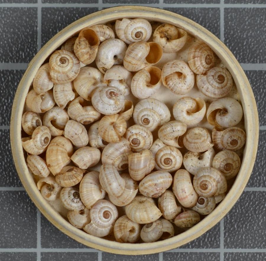 Land snail (Helix species)