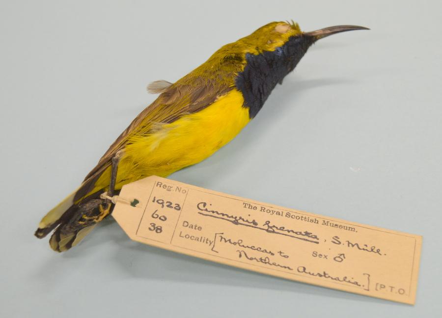 Bird (Cinnyris franata (Sunbird))