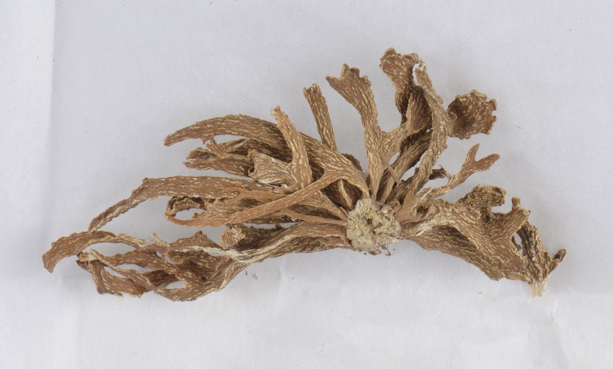 Lichen (Ramalina polymorpha var. legulata minor)