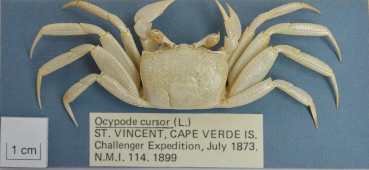 Crab (Ocypode cursor)