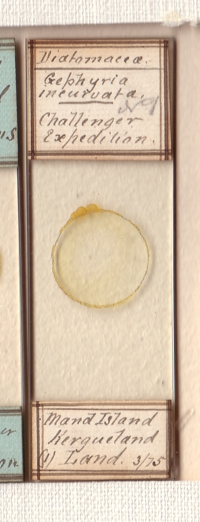 Diatom (Microscope Slide)